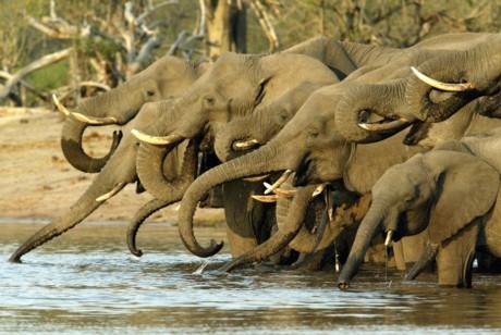 Törstiga elefanter i Botswana njuter vid ett vattenhål