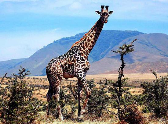 Ståtlig giraff blickar nyfiket omkring