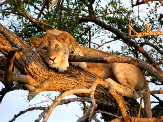 Vilande lejon i Serengeti National Park