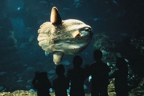 Klumpfisk på akvariet i Barcelona